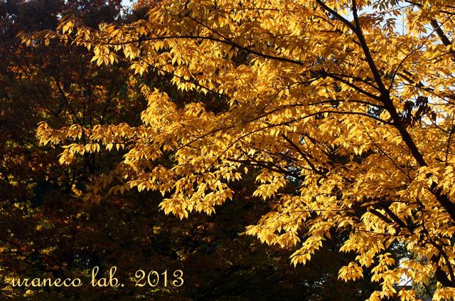 11月25日黄金色の木