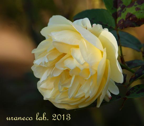 11月27日冬薔薇