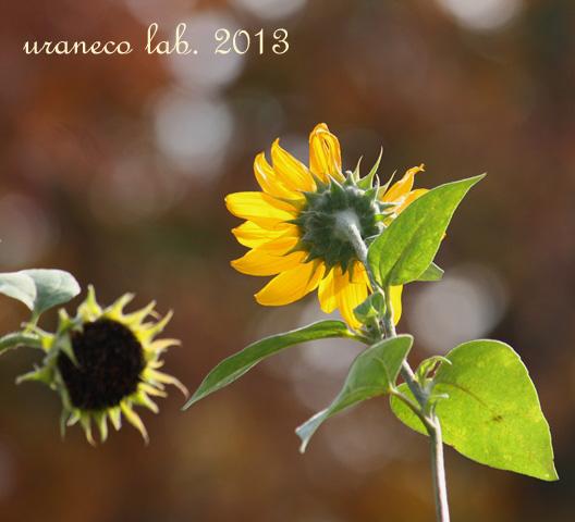 11月25日紅葉とヒマワリ