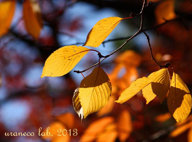 11月27日黄葉