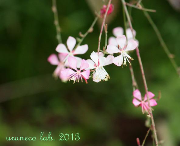 11月11日白蝶花