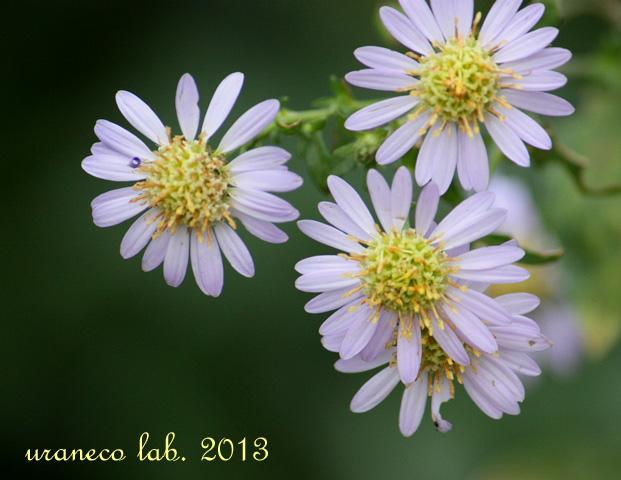 11月14日紫苑5