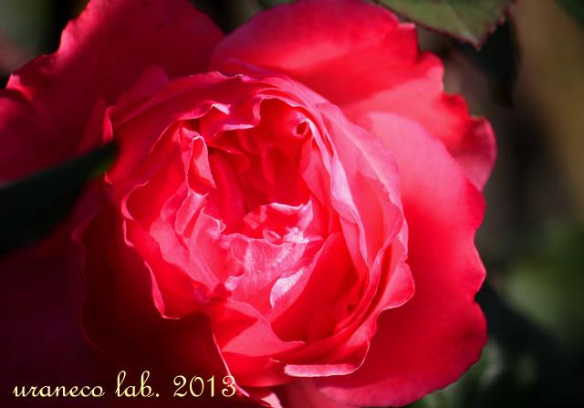 12月5日冬の薔薇5