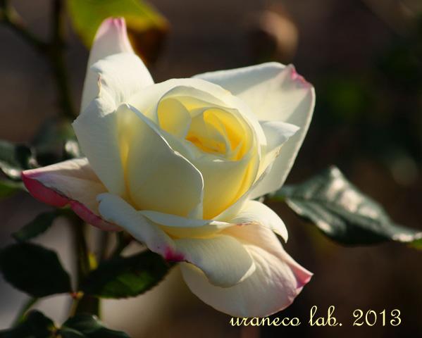 12月5日冬の薔薇6