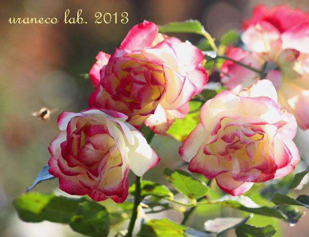 12月12日冬薔薇5