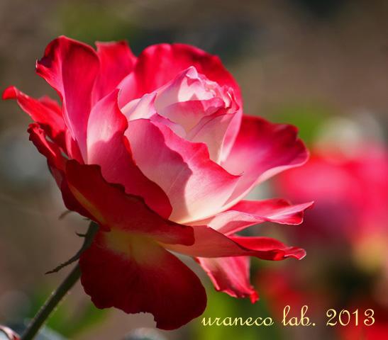 12月12日冬薔薇6