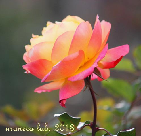 12月5日冬の薔薇2