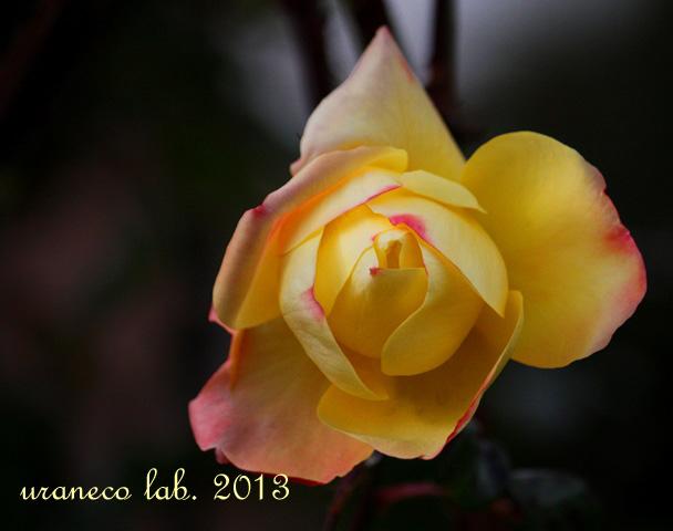 12月5日冬の薔薇3