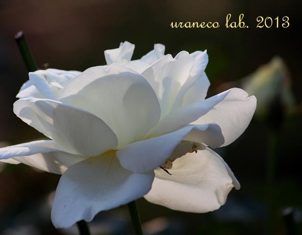 12月12日冬薔薇2