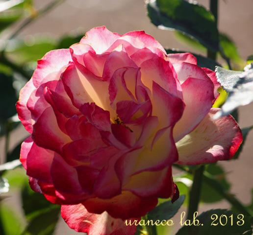 12月12日冬薔薇8