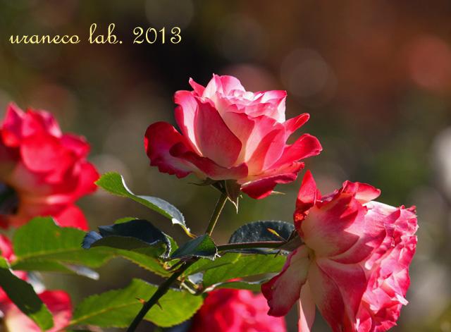 12月12日冬薔薇7