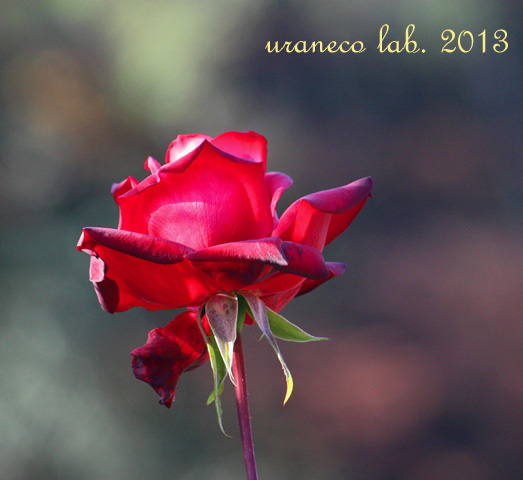 12月12日冬薔薇13