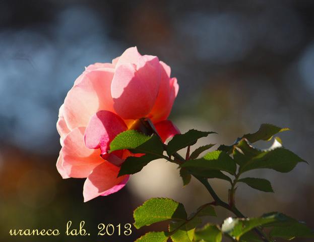 12月12日冬薔薇11