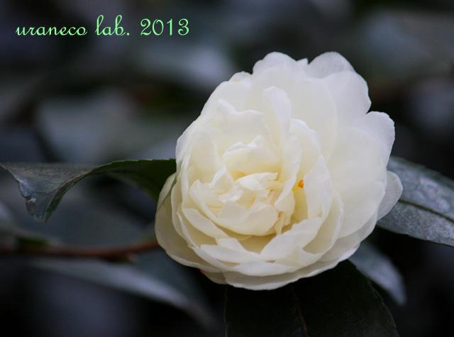 11月19日山茶花2