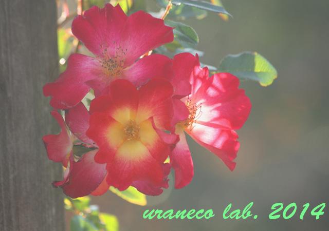 1月2日冬薔薇4