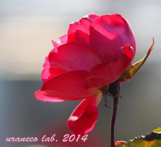 1月10日冬薔薇