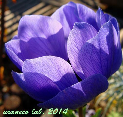 1月15日アネモネ青紫2