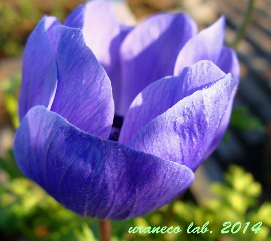 1月15日アネモネ青紫