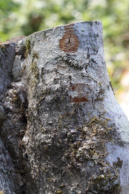 ヒゲナガゴマフカミキリ