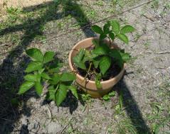 鉢植えに動きなし