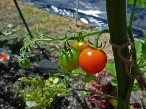 天使のトマト