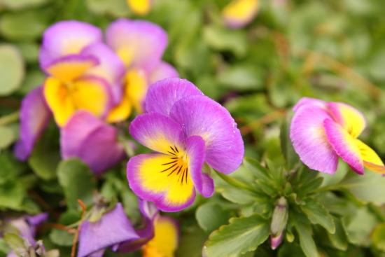 20110219虹色スミレ2