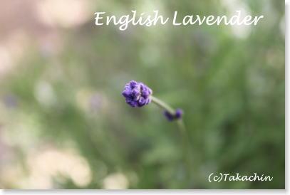 lavender2011