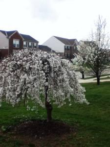 先週の満開の桜