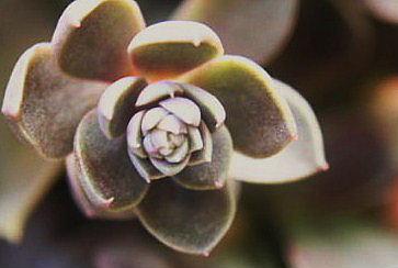 銀明色の花芽