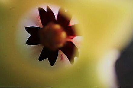 カラルマ ヘスペリズム の花