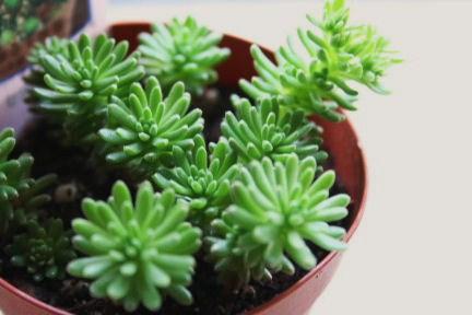 カクトロコ 小松緑