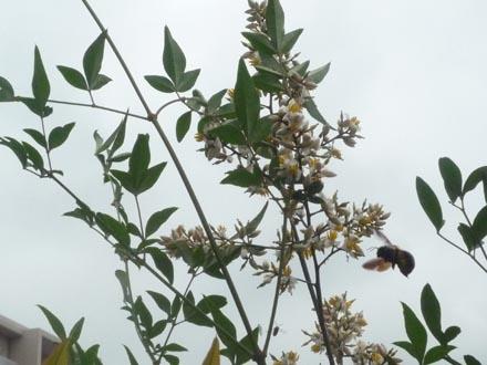 南天の花と蜂