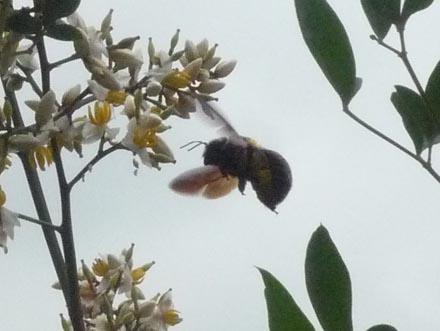 南天の花と蜂アップ
