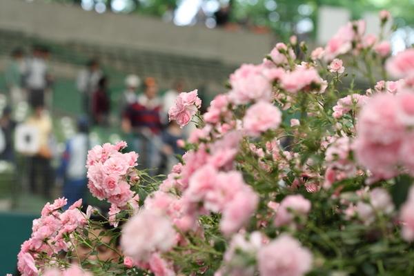 Roses for Loveのバラ