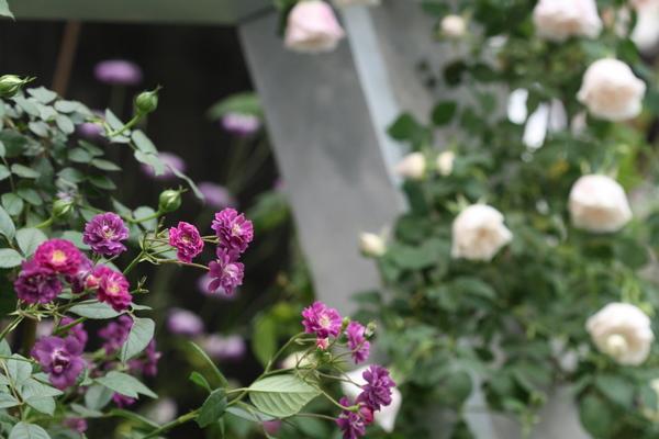 バラの風景3