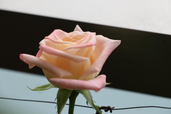 仙台のベランダのバラ