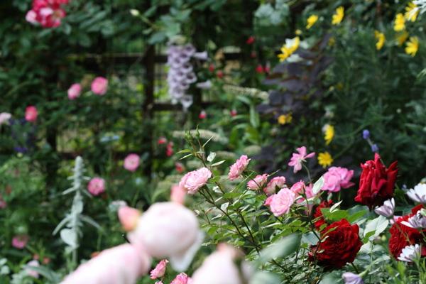 テラス前のバラ1