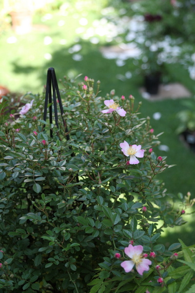 実生のミニのつるバラ