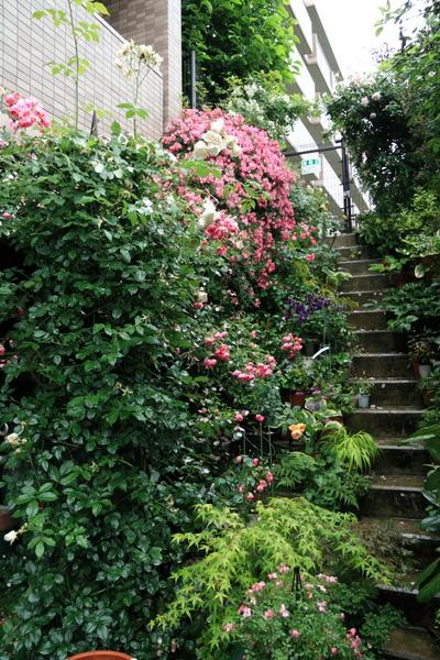 階段周りのバラ