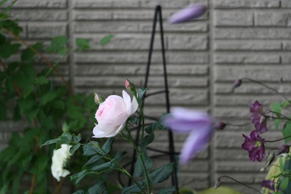 バラとクレマチスのコラボ