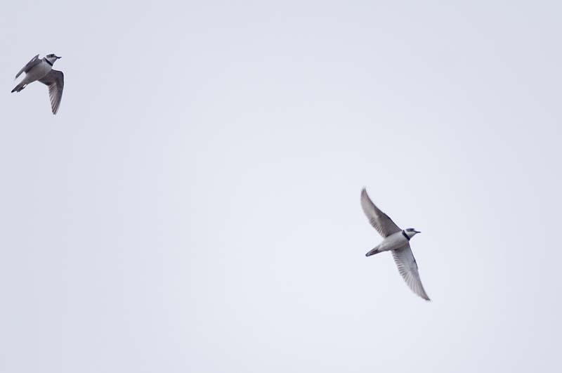 イカルチドリ飛翔2