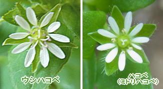 ウシハコベと普通のハコベの花の比較