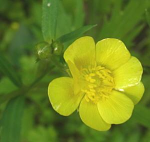八重咲きのキンポウゲ