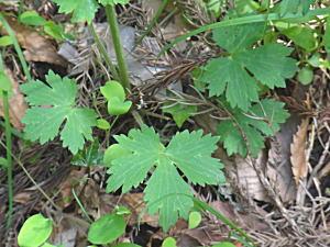 キンポウゲの根生葉