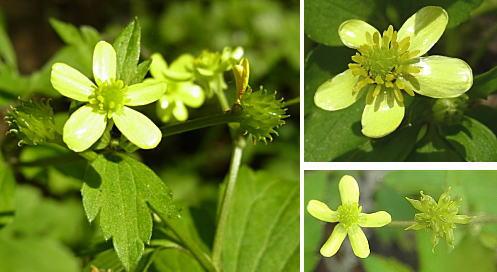 キツネノボタンの花