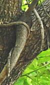 ノダフジの蔓