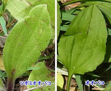 ツボミオオバコとオオバコの葉の比較