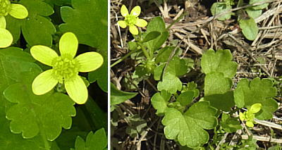 トゲミノキツネノボタンの葉