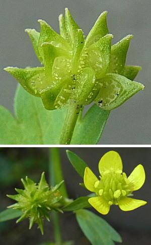 トゲミノキツネノボタンの実と花