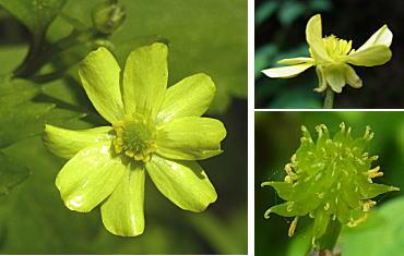 ヤエザキキツネノボタンの花